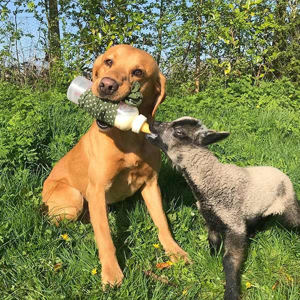 Gundog Vinnie bottle feeding lamb