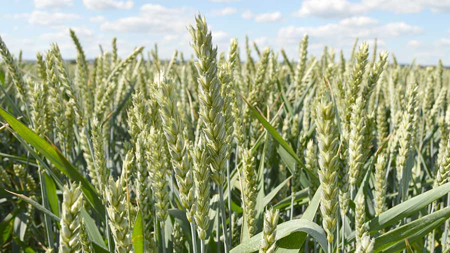 A crop of Montano high-protein wheat grows in a field