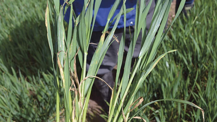 Two wheat varieties show difference in susceptibility to septoria