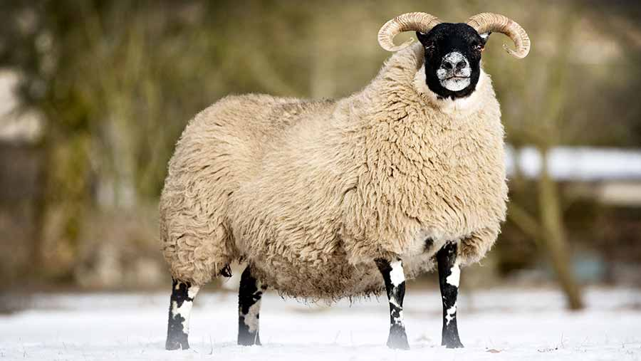 A ewe in the snow