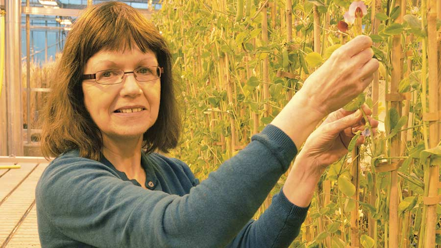 Prof Claire Domoney with a pea variety from Afghanistan