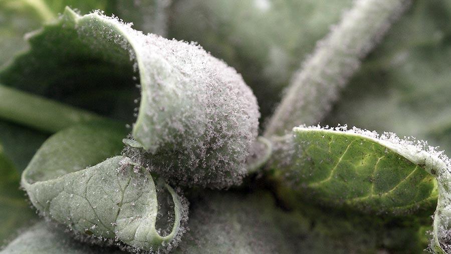 Downy mildew in peas. © Blackthorn Arable