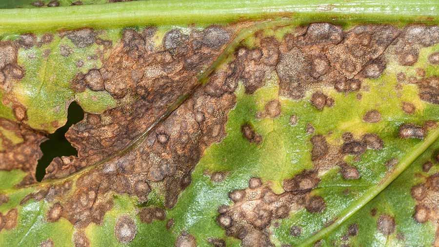 Cercospora infection on a sugar beet leaf