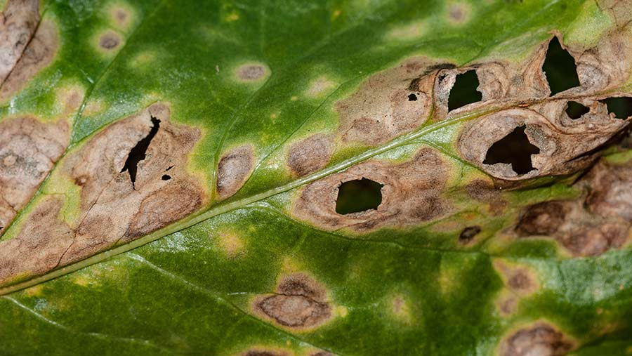 Rumularia on a suger beet leaf