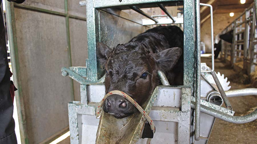 A calf is restrained in a crush
