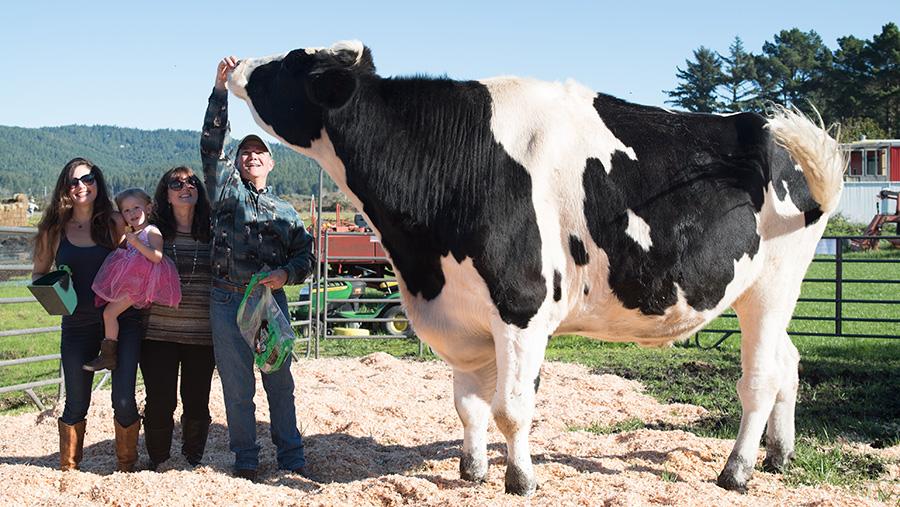 People dwarfed by Danniel the Holstein steer