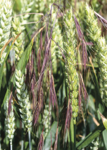 Barren brome in wheat