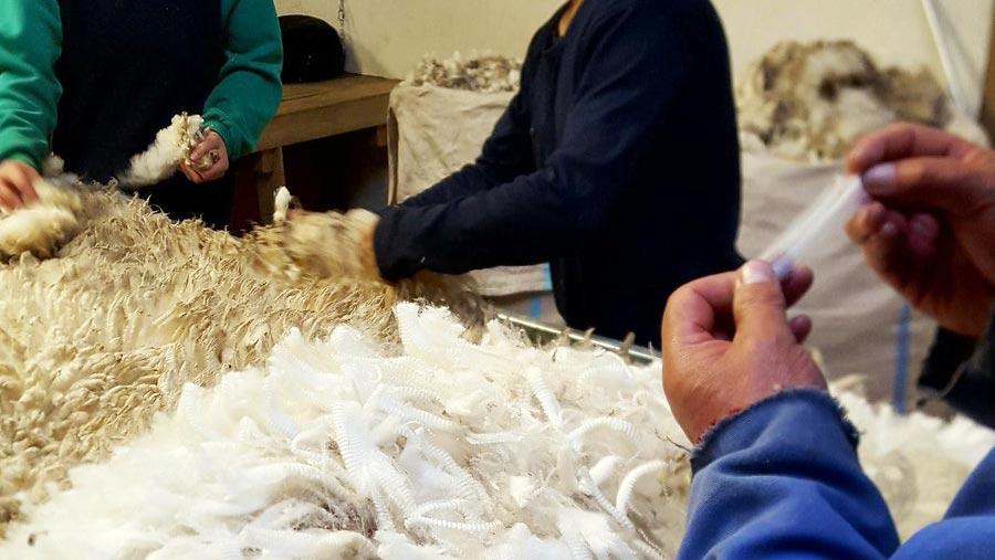 White wool, San Carlos, Hew Grierson falklands