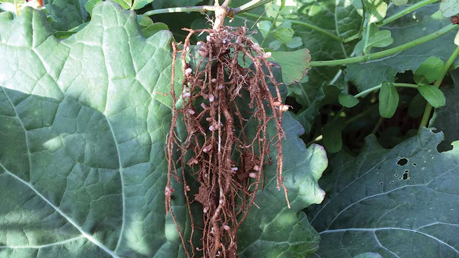 Root nodules form very quickly on the vetch component of the companion mix