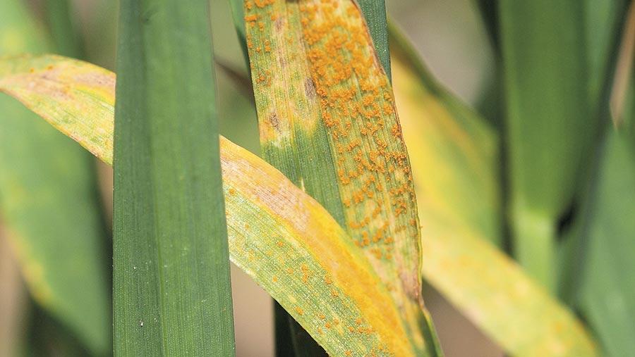 Yellow rust in warrior wheat