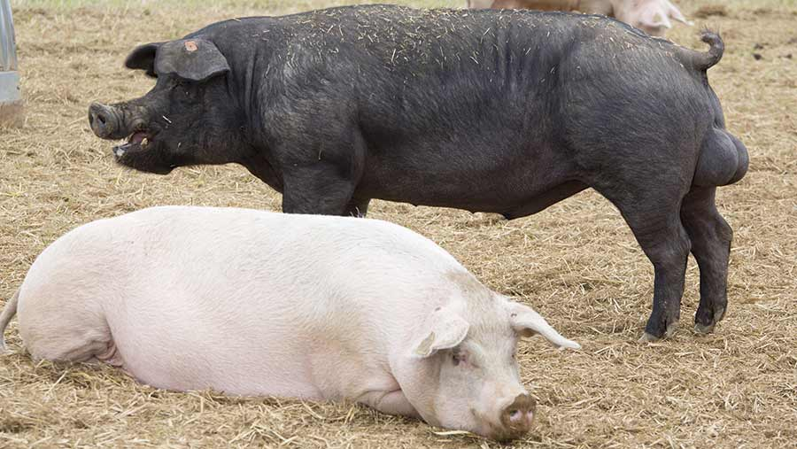 A boar stands in a straw yard next to another pig