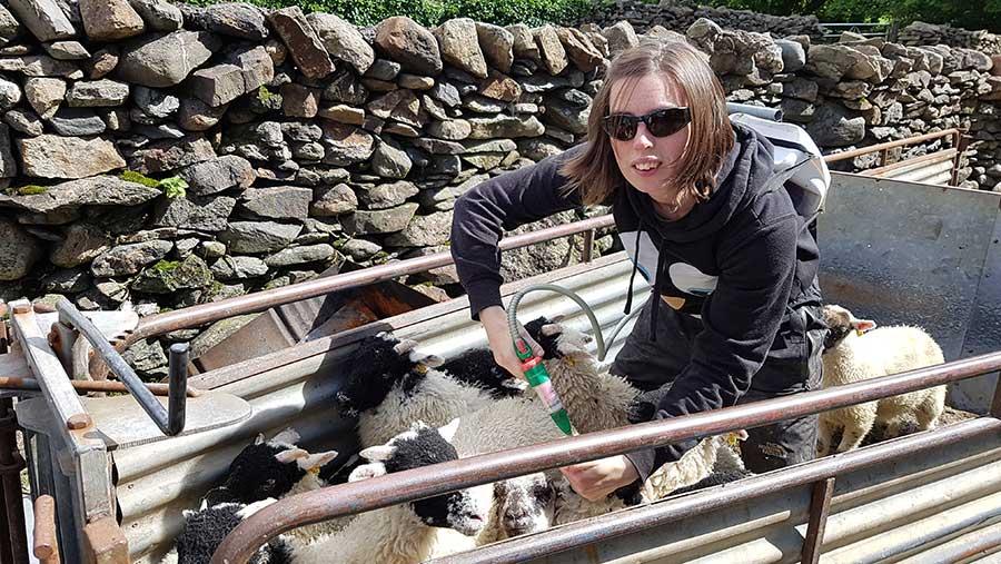 Rebecca Morris-Eyton uses a drench gun on sheep