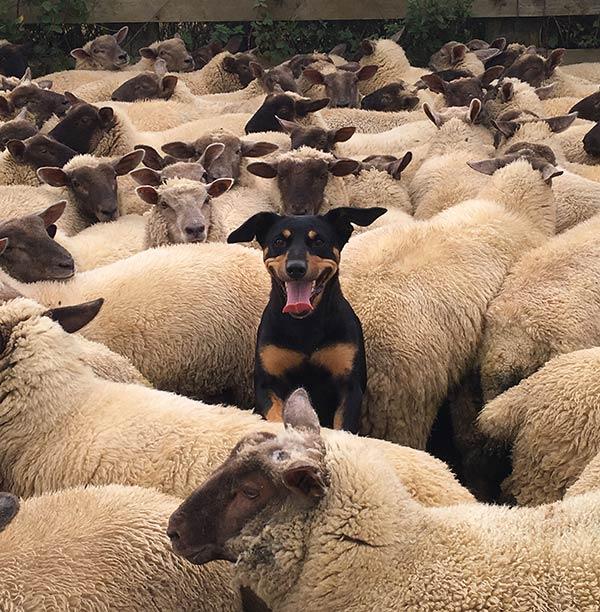 Kelpie sheep dog with sheep