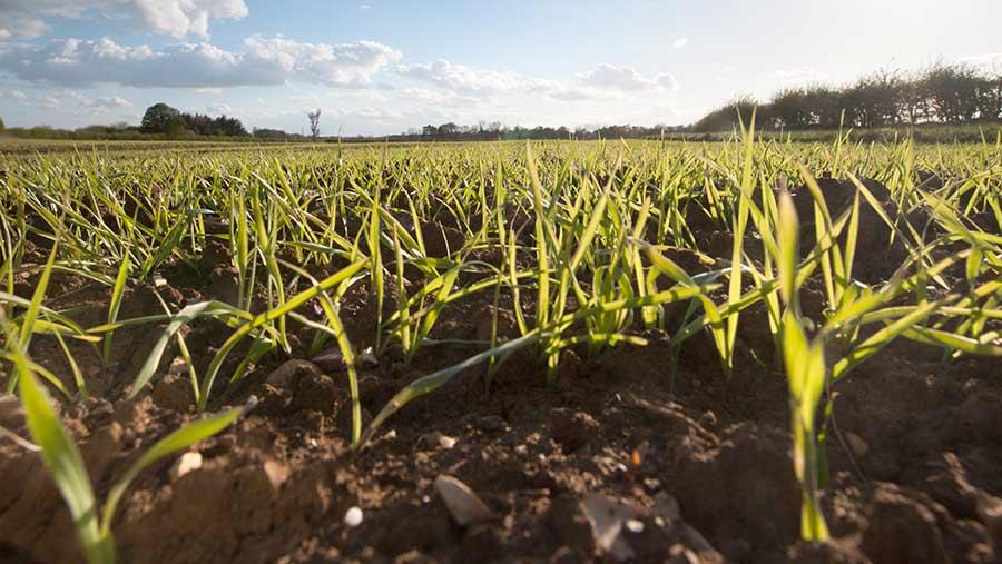 young spring barley