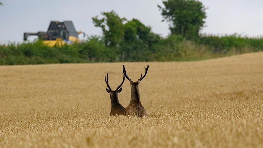 harvest-stags-c-tom-balchin