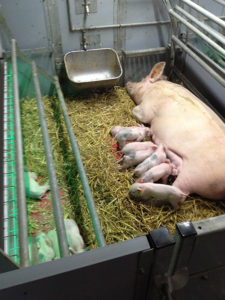A sow and piglets in a 360 Freedom Farrower