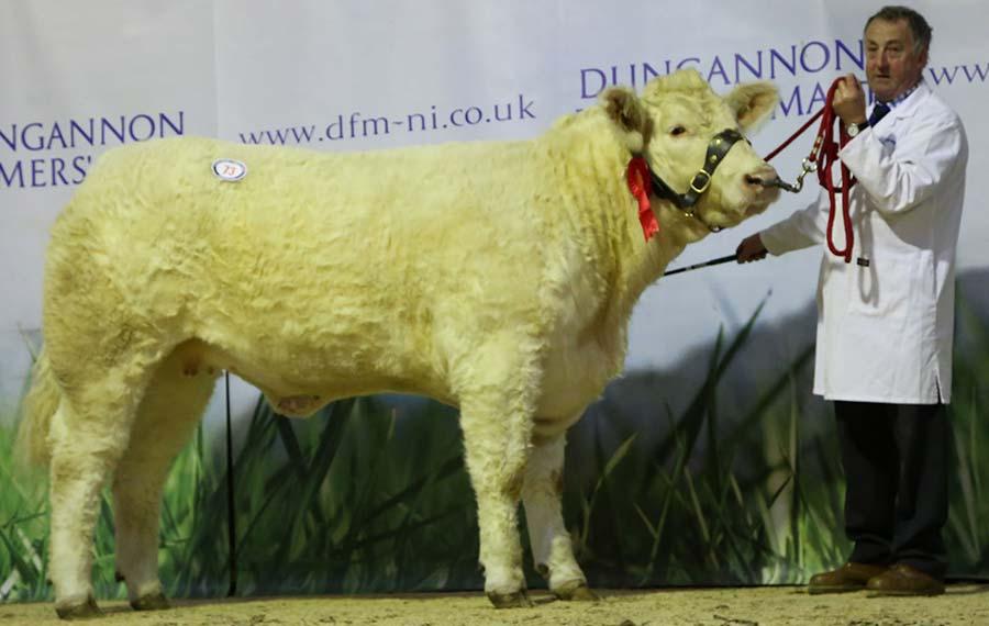 Hillviewfarm Margo made 5,000gns as heifers averaged £2,902