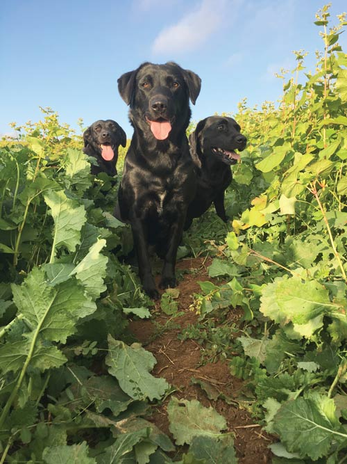 Labradors run through Jack Freestone's companion crops