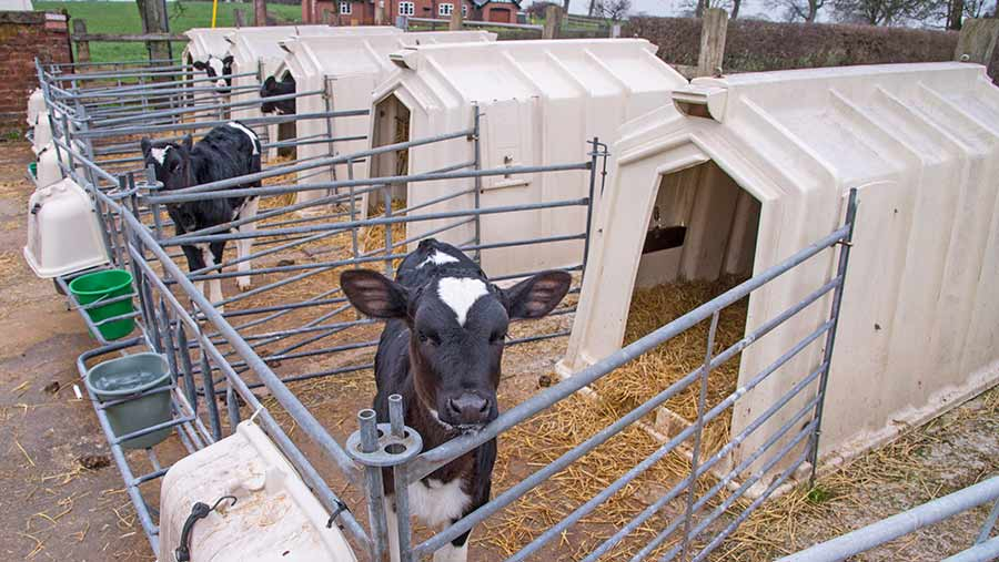 Penned calves with several fibreglass hutches