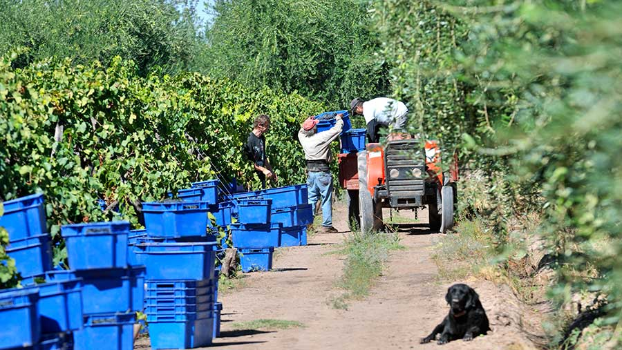 Grapes being harvested in Argentina