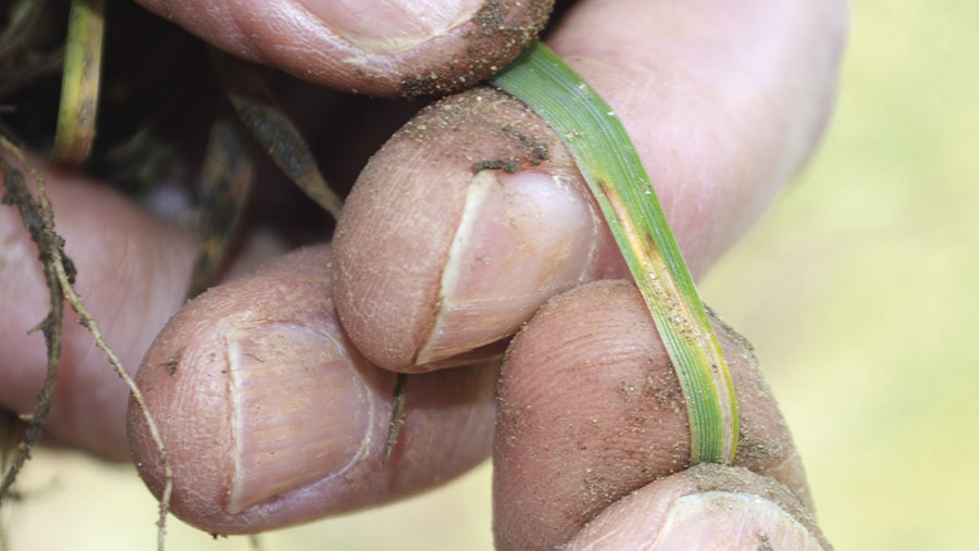 A man's hand holding a leaf showing signs of septoria