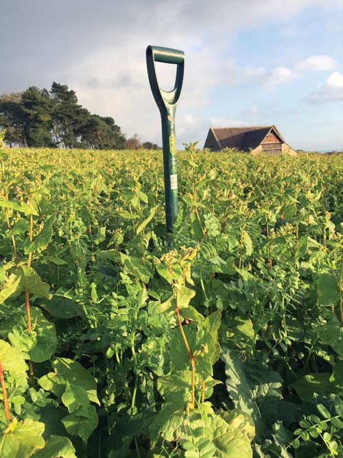 A spade stands in companion crops