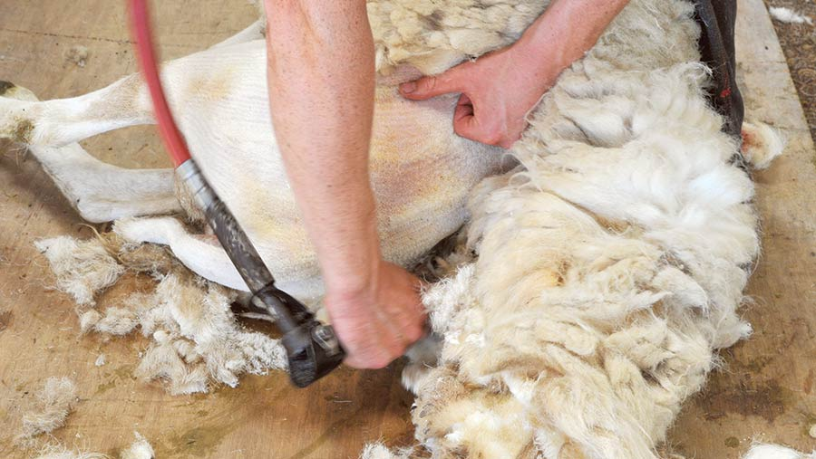 Shearing sheep's undermine