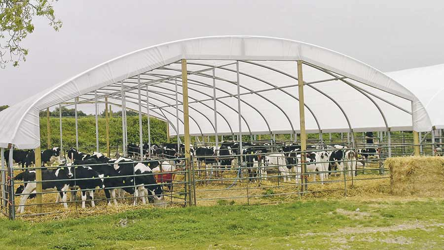 Calves in an open-sided polytunnel