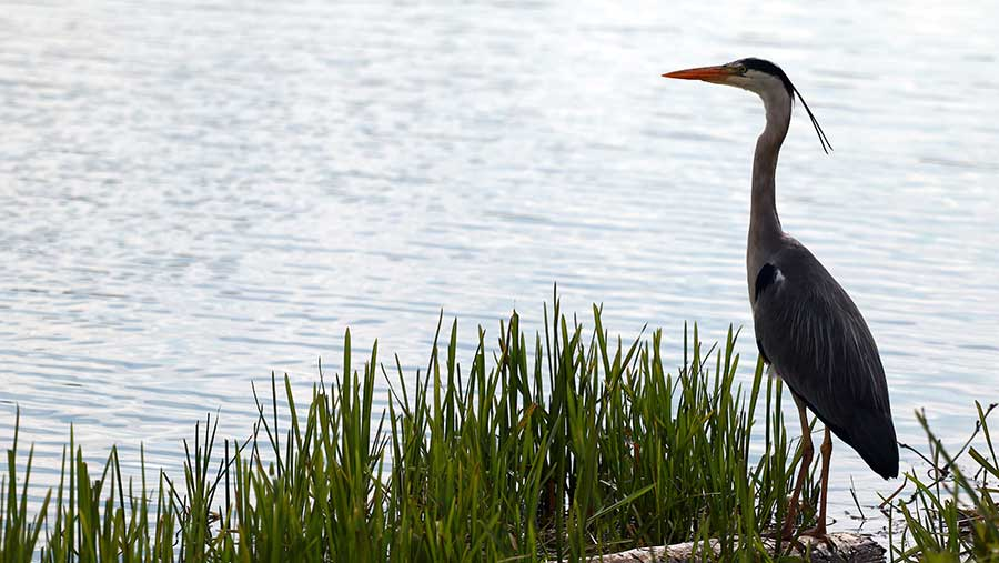 A grey heron beside the rowing course beside the River Nene