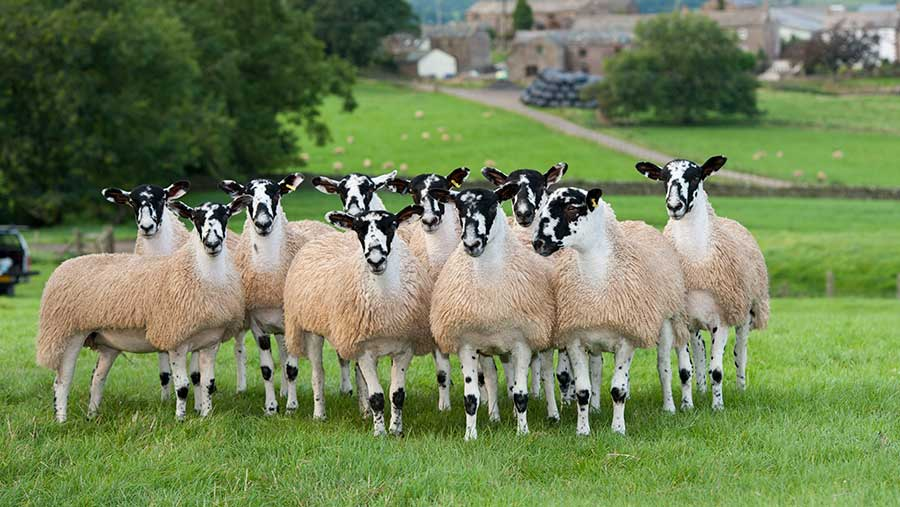 North of England mule gimmer lambs ready for autumn sales