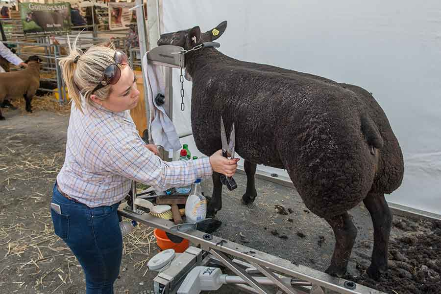 Alex Hutchinson preparing her Blue Texel for the show