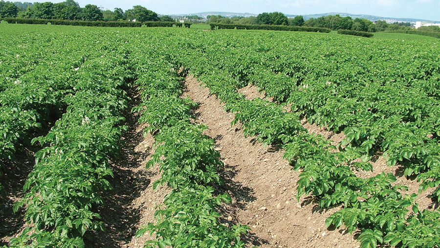 Area of poor growth in potato crop caused by nematode attack