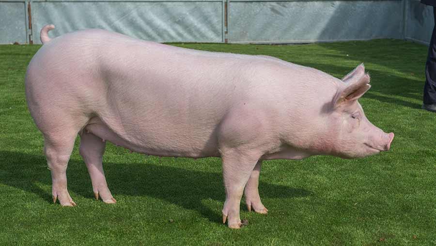 Balmoral-Pig-Overall-Champion