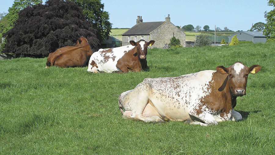 Cows lying in a grass field