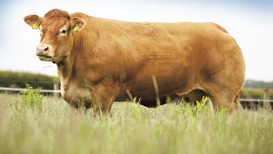 Beef animal Millington Highlight