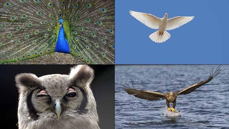 Peacock, dove, owl and eagle