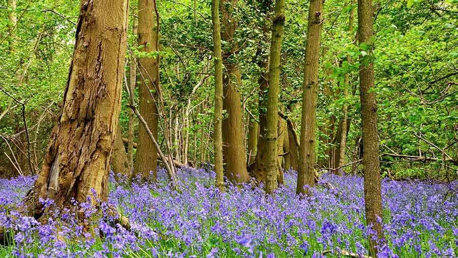 Bluebell wood © Katy Gambles