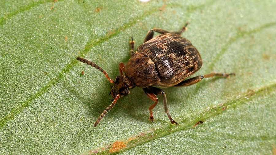 Adult bruchid beetle on bean