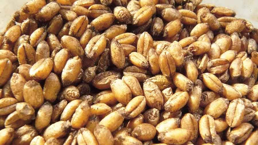 Bunt spores on wheat