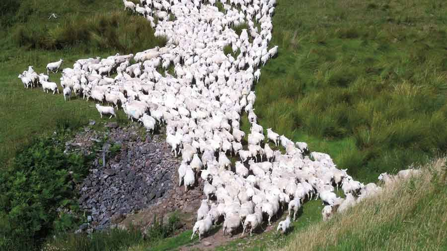 Sheep are moved regularly