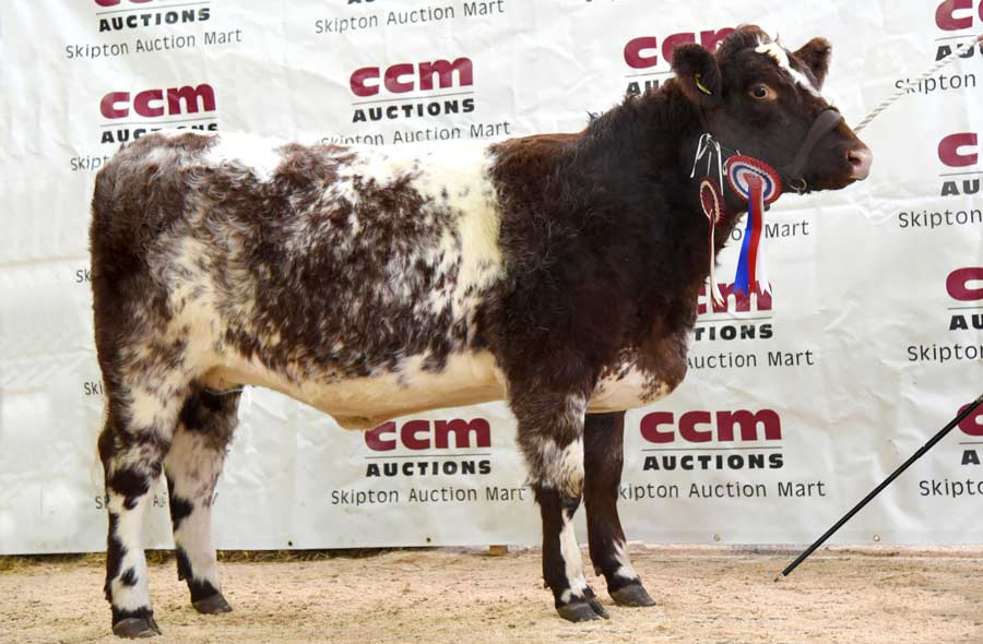 A Beef Shorthorn