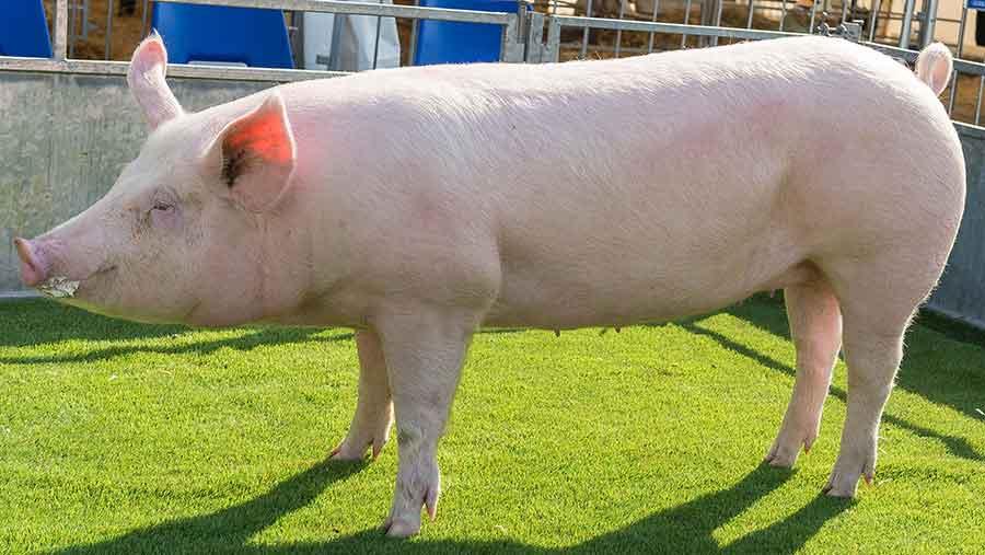champion pig