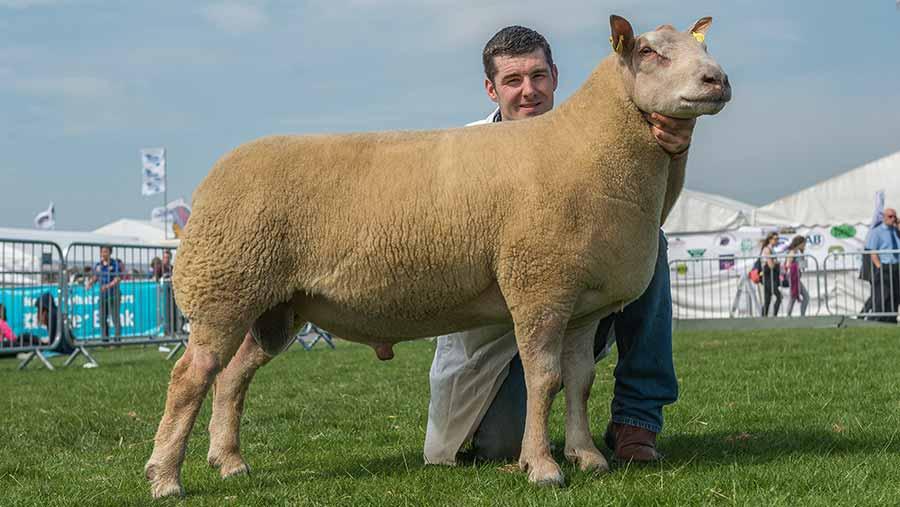 Charollais-Sheep-Interbreed-Champion-Balmoral-2016