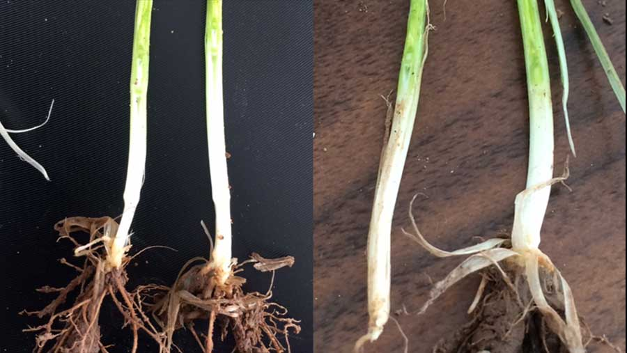 Cordiale (left) and Belgrade (right) are the first October planted crops to reach growth stage 30 at Frontier trial sites and are at the optimum time for a T0 application