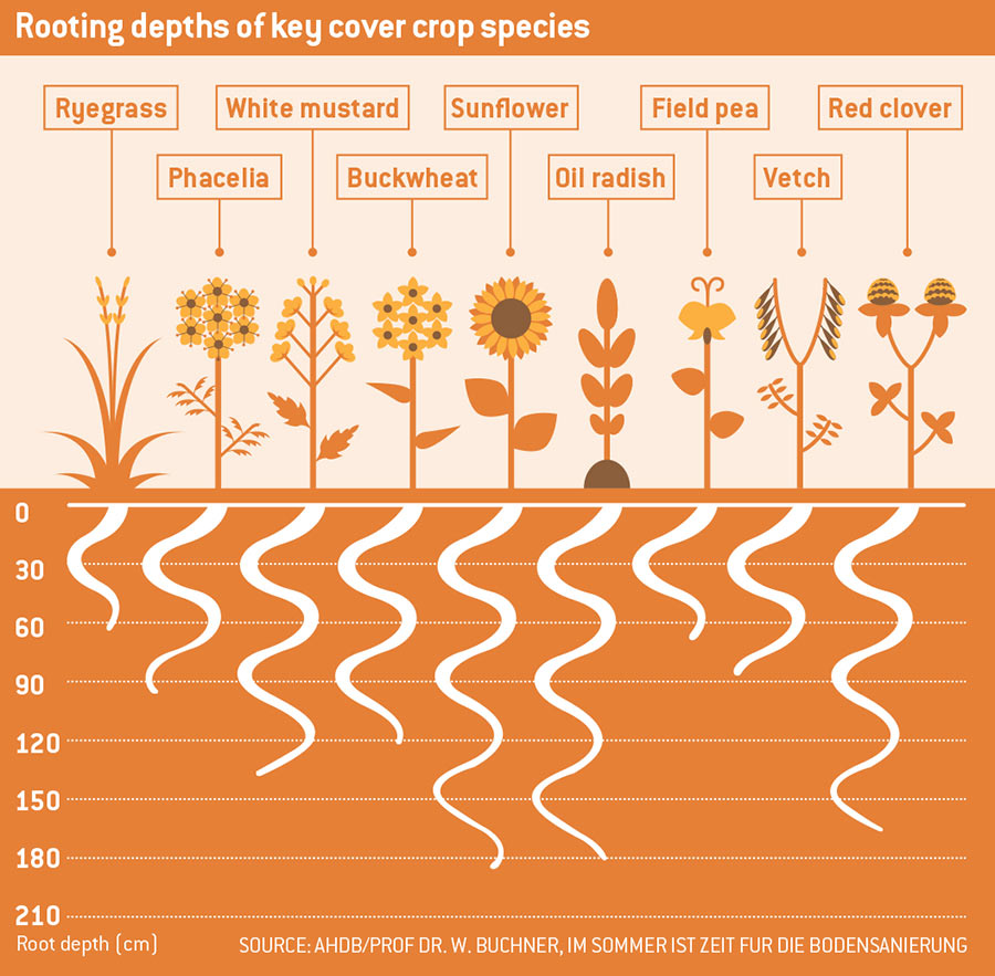 Infographic showing rooting depths of key cover crop species