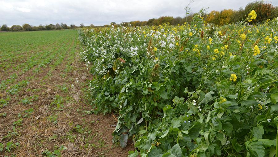 Wildflower strip and oilseed rape