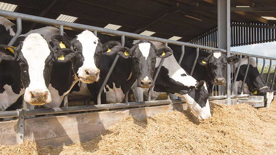 Dairy cows in a shed