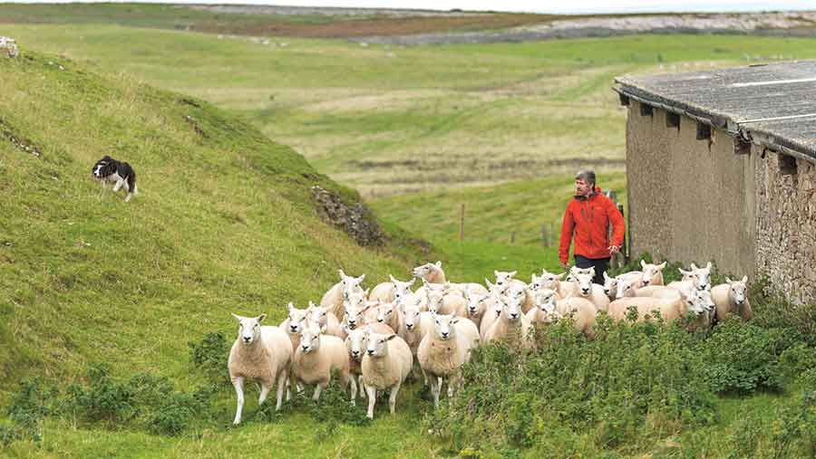 Dan and sheepdog Nel herding sheep on the Great Orme