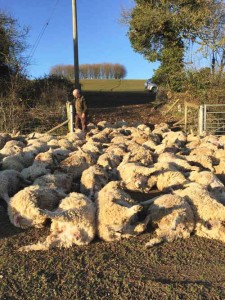 Dead sheep after sheep worrying attack© Sussex Police