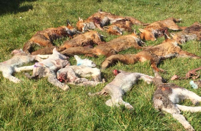 Dead sheep and foxes lying on ground © Linda Short